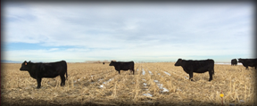 2-Year-old Bred Angus Heifers