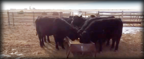 Yearling Angus Bulls