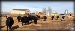 Yearling Angus Heifers